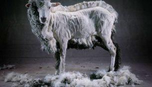 texnologiya-strizhki-ovec